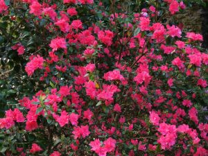 Azalea 'Salmon Pink Cushion'