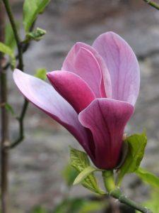 Magnolia 'Holland Red'