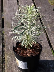 Euphorbia choracias 'Tasmanian Tiger'