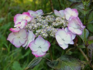 Hydrangea 'Love you Kiss'