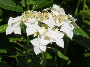 Hydrangea 'Libelle'