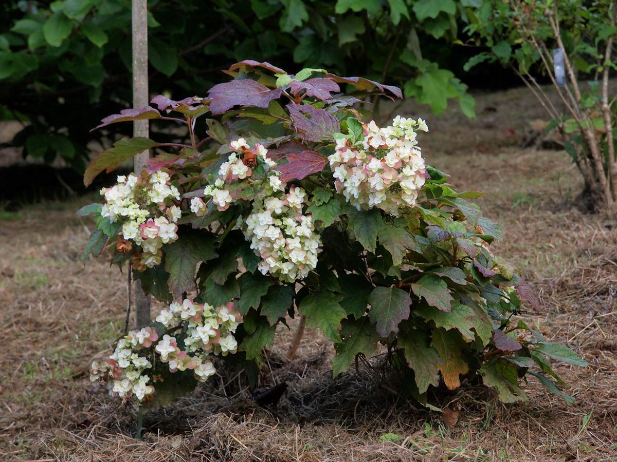 18th september the garden diary for Hydrangea quercifolia