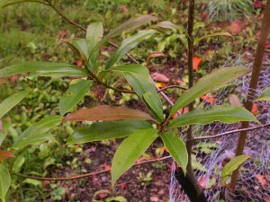 Magnolia crassifolia