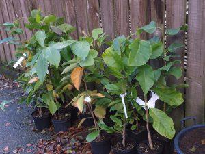 magnolias from Magnoliastore