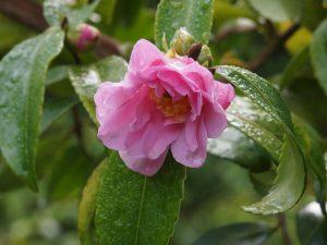 Camellia 'Winters Joy'