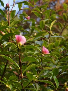 Camellia 'Winters Toughie'