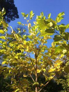 Styrax japonicas 'Emerald Pagoda'