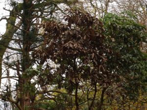 heat from a fire has killed this rhododendron