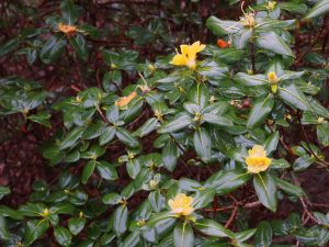 Rhododendron concatenans