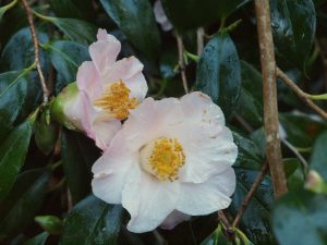 Camellia x williamsii 'Beatrice Michael'