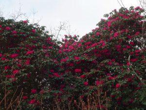 Rhododendron 'Winter Intruder'