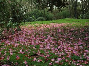 unnamed Camellia x williams