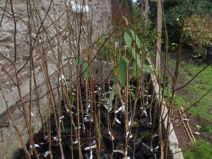 Lots of new magnolias
