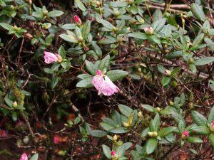 Rhododendron 'Seta'