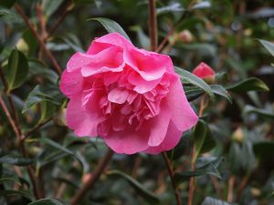 Camellia 'Mary Phoebe Taylor'