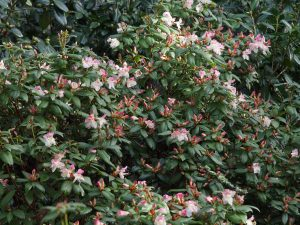 Rhododendron 'Bo-Peep'