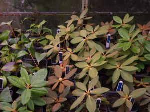 cuttings of rarer rhododendrons