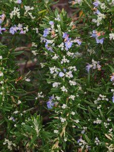 Rosemarinus officinalis 'Prostratus'