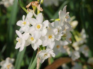 dwarfish scented narcissi