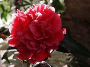 Camellia reticulata 'Dr Clifford Parks'