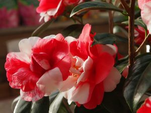 Camellia 'Memphis Belle'