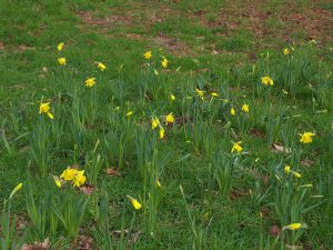first clump of our huge new autumn planted daffodil clumps