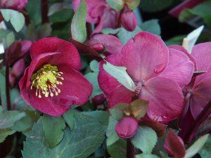 Helleborus orientalis 'Annas Red'