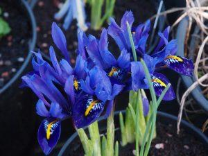 dwarf blue iris