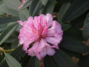 Rhododendron brevinerve