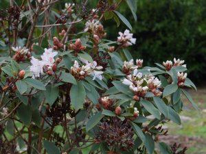 Rhododendron siderophyllum