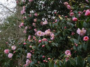 Camellia x williamsii 'Salutation'