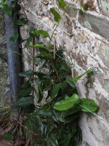 lapageria