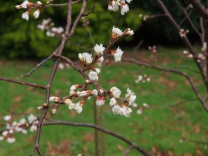 white very early flowering prunus