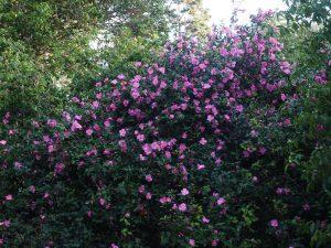 Camellia 'St Ewe'