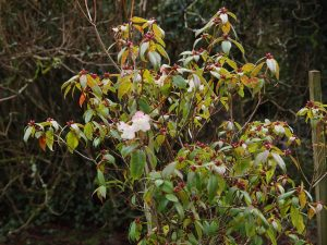 Rhododendron 'Bo Peep' – pink form
