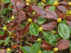 Rhododendron 'Emma Williams'