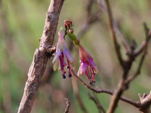 Fuchsia exorticatica
