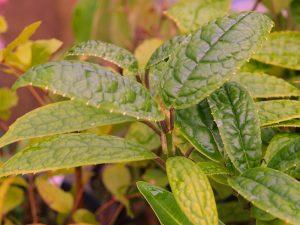 Aucuba confertiflora