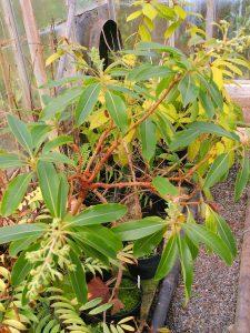 Arbutus canariensis