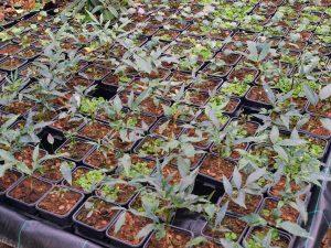 Mahonia gracillipes x fortunei