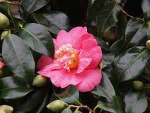 Camellia 'Lady Clare'