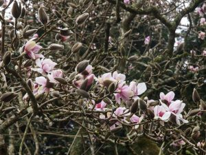 unnamed magnolia