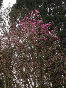 seedling magnolia (unnamed)