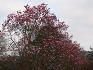 Magnolia mollicomata x sargentiana robusta