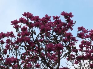 Magnolia 'Bishop Peter'