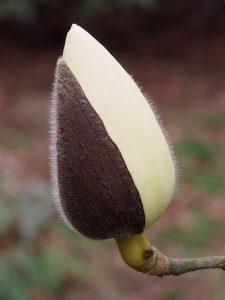 yellow form of Magnolia campbellii alba