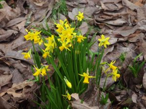 variable jonquils