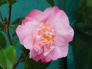 Camellia japonica 'Amabel Lansdell'