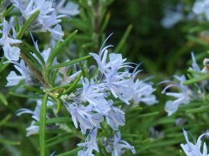 Rosemarinus officinalis 'Severn Sea'