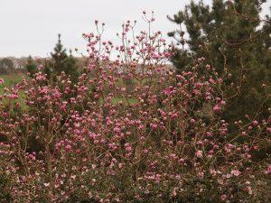 A second magnolia
